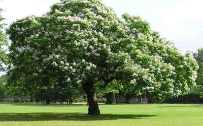My Favorite Trees in Denver – Western Catalpa