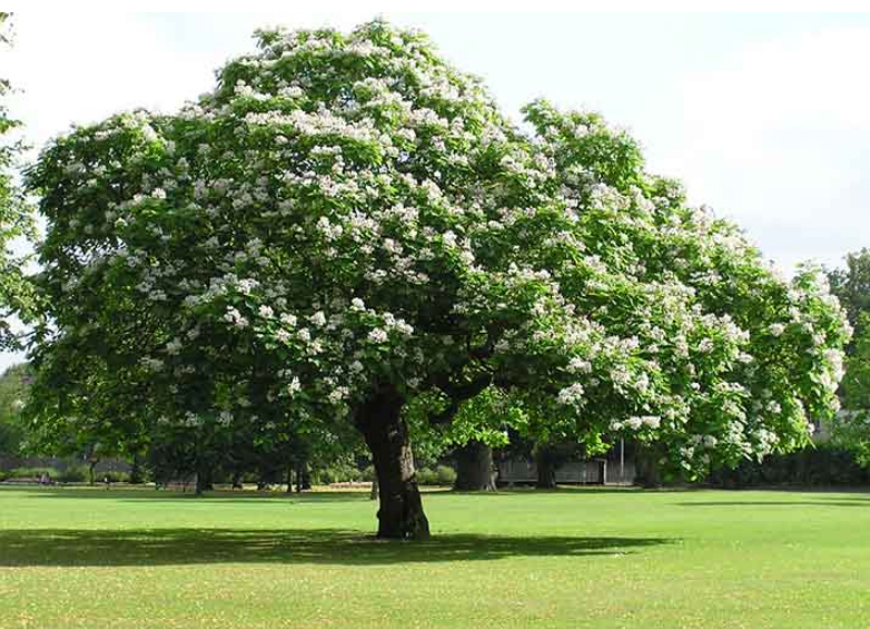My Favorite Trees in Denver – Western Catalpa