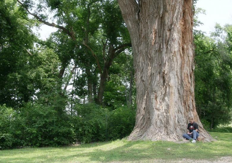 cottonwood tree denver