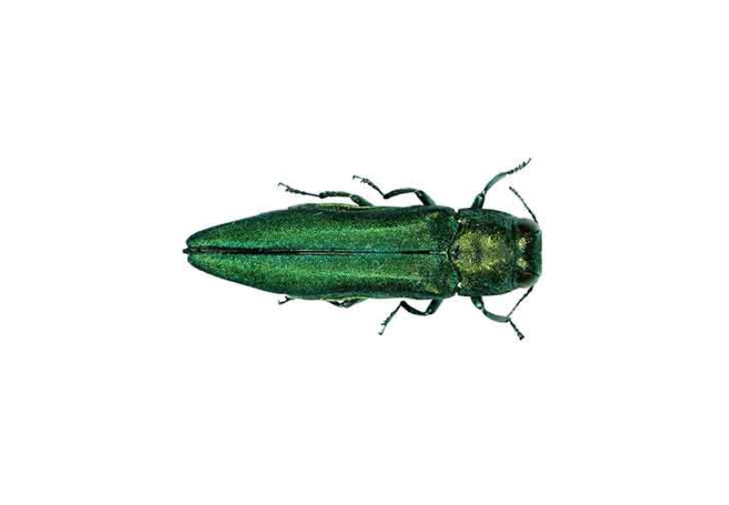 Potential $1 Billion Economic Impact of The Emerald Ash Borer on Denver County