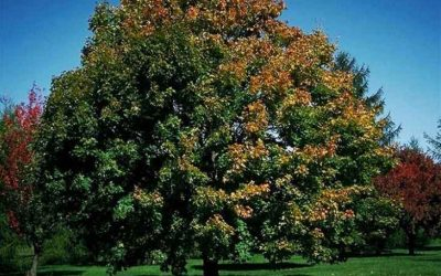 South High Street Trees – Norway Maple